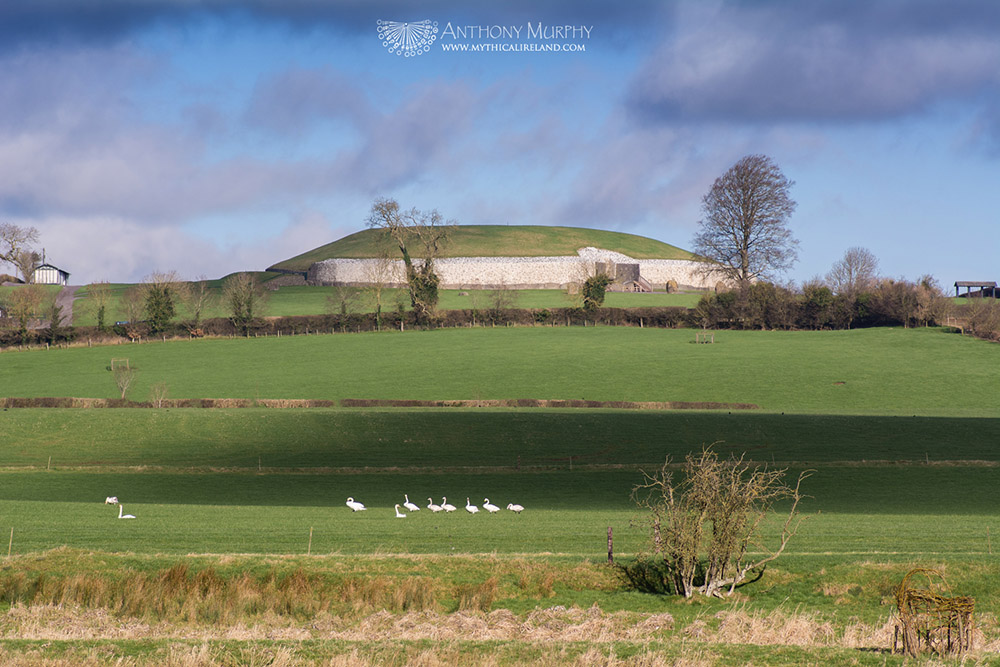 Whooper swans at Newgrange